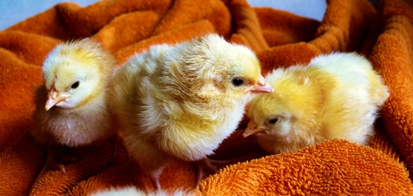 animals-chicken-chicks-5143