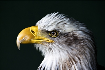 animal-bald-eagle-beak-4829